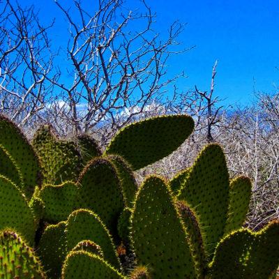 galapagos-cactus-seymour