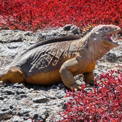 galapagos-plazas-iguana