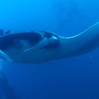 academy-bay-diving-manta-ray