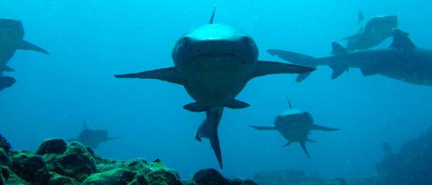 Reef sharks diving in Galapagos