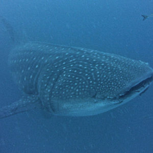 whaleshark diving with academy bay diving darwin arch