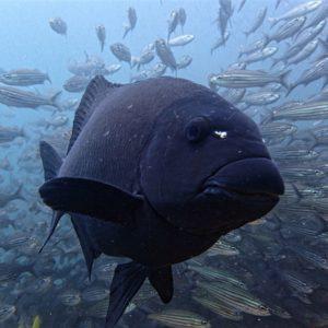 Damselfish, diving Galapagos