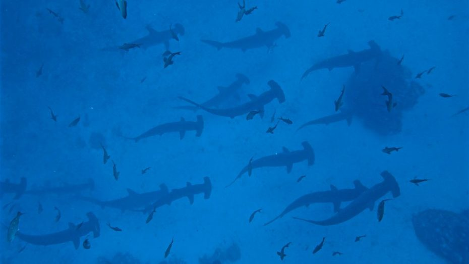 Hammerheads at Gordon Rocks