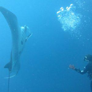 Giant Manta in Galapagos Diving
