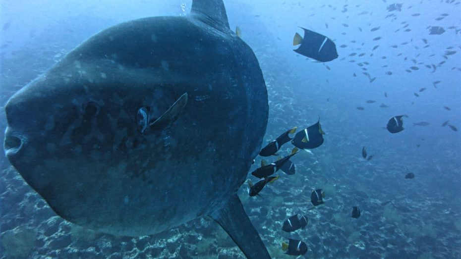 mola mola (sun fish) at Gordon Rocks