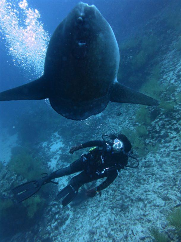 mola mola and diver (Sun fish)