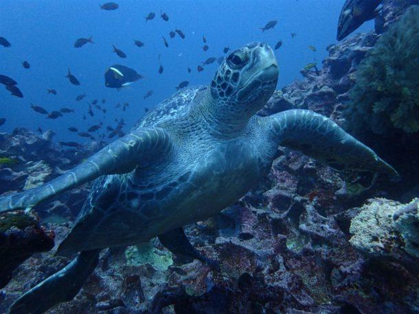 Diving with turtles at Gordon Rocks