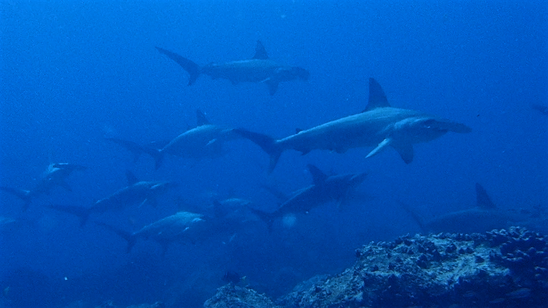 hammerheads in galapagos academy bay diving