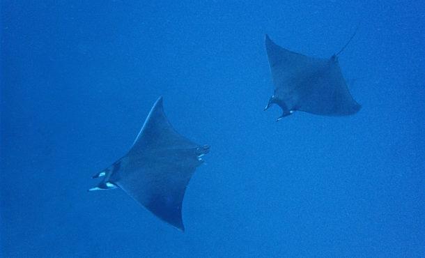 Mobula Ray in Galapagos