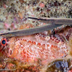 Fantail Pipefish Galapagos