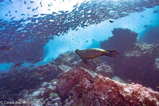 White Salema fish galapagos