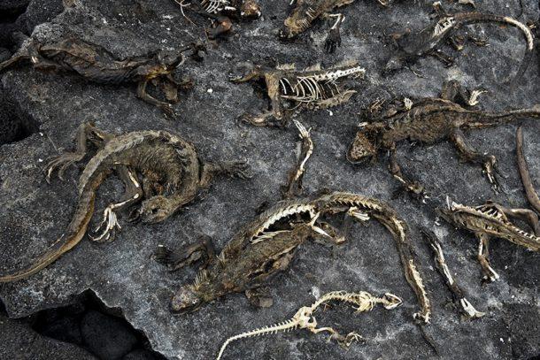 el nino in galapagos marine iguanas