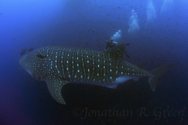 whaleshark galapagos jonoth