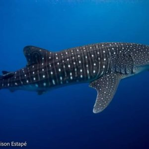 Whaleshark Galapagos